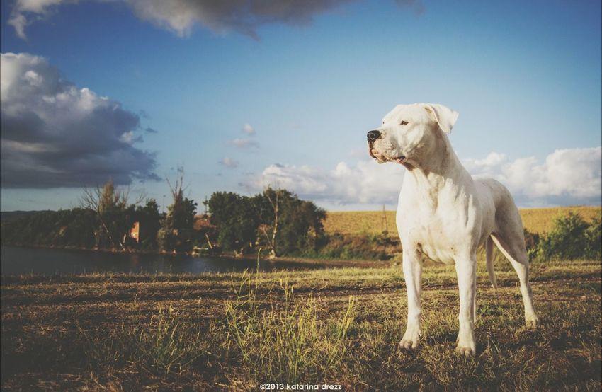Dogs Dogo Argentino Dogphoto Nature