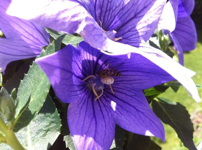 Purple flower with hover fly