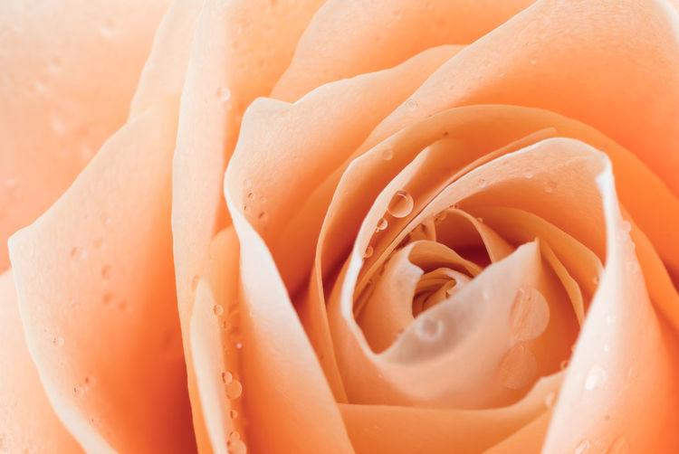 Freshness Close-up Full Frame No People Rosé Backgrounds Rose - Flower Beauty In Nature Orange Color Flower Flowering Plant Plant Food Food And Drink Petal Flower Head Inflorescence Wellbeing Indoors  Wet Softness Dew