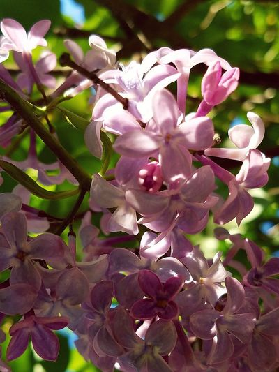 Flower Nature Fragility Beauty In Nature Pink Color Blossom Close-up No People Springtime Outdoors Branch Leaf Tree Freshness Growth EyeEm Nature Lover Lilac Beauty Beauty In Nature Sunny