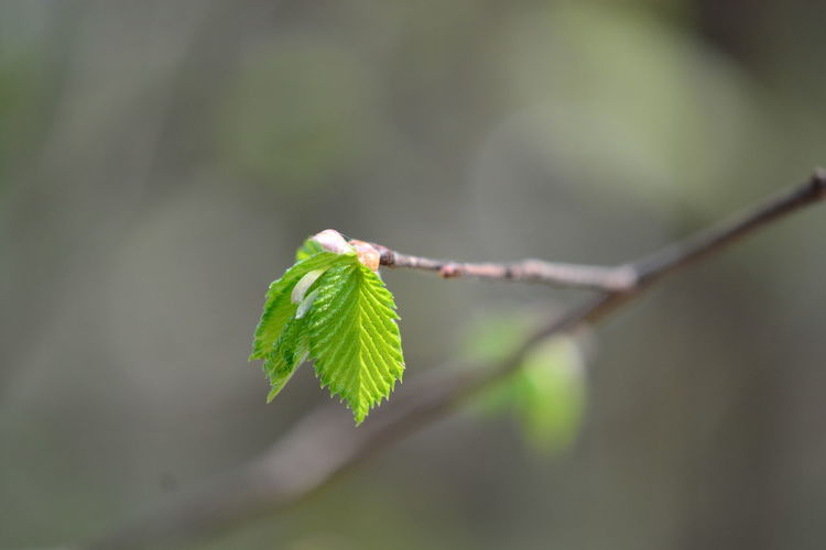 Leaf Plant Part Green Color Plant Growth Close-up Nature No People Beauty In Nature Focus On Foreground Selective Focus Day Beginnings Twig Outdoors Fragility Vulnerability  Plant Stem New Life Branch Leaves