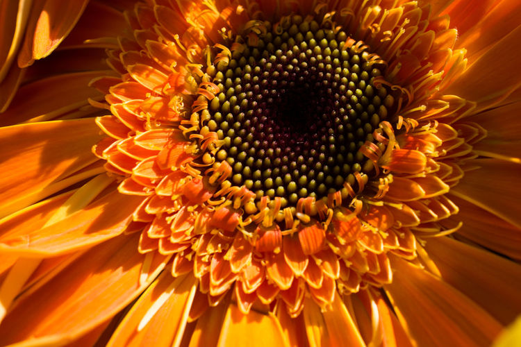 Close-up of orange daisy flower