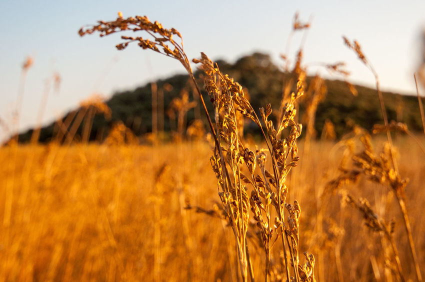 Agriculture Beauty In Nature Cereal Plant Close-up Crop  Day Farm Field Focus On Foreground Growth Nature No People Outdoors Plant Rural Scene Scenics Sky Straw Sunset Tranquility Wheat