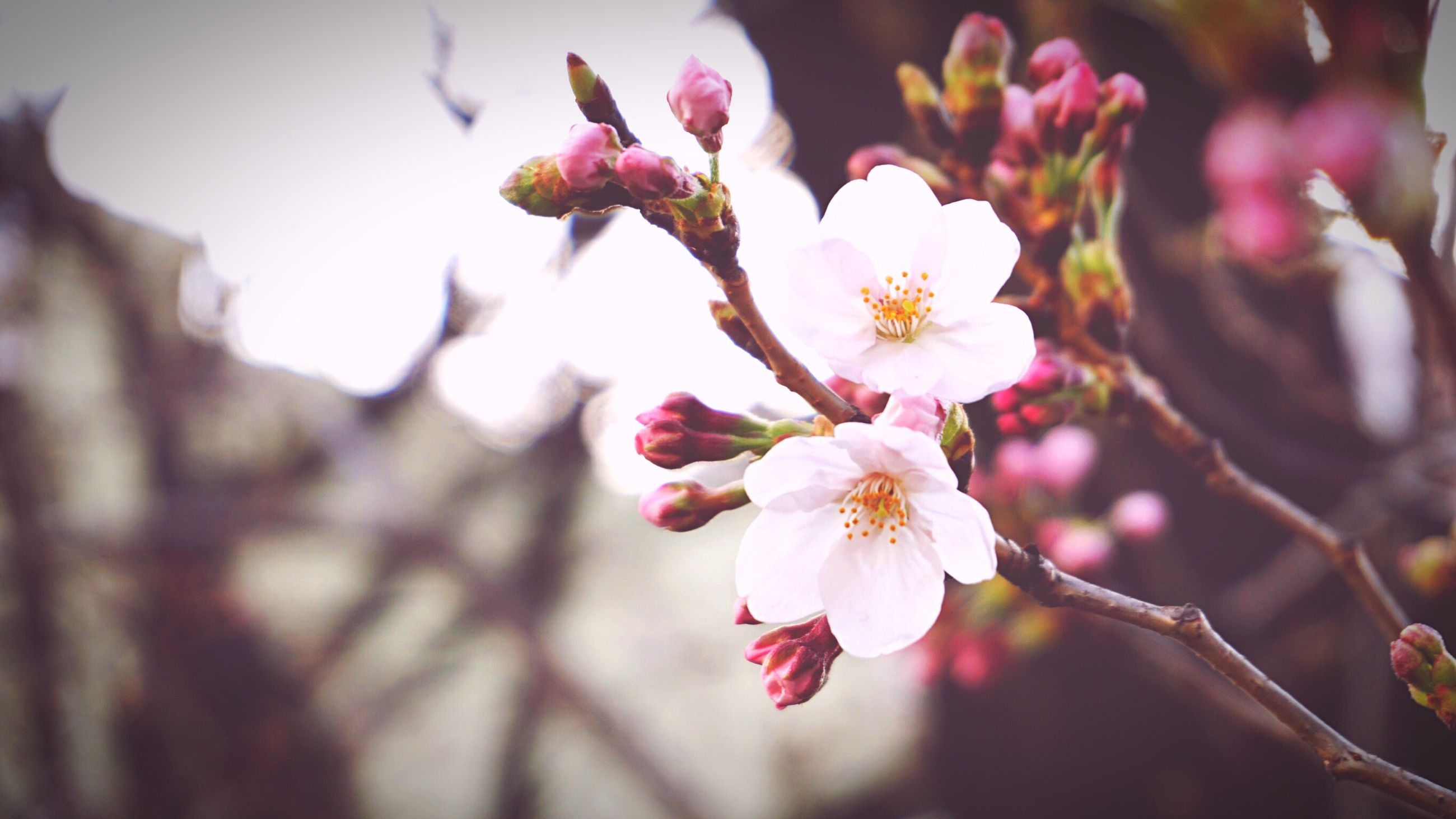 flower, nature, growth, fragility, beauty in nature, freshness, petal, close-up, pink color, no people, outdoors, blooming, tree, day, flower head, branch, plum blossom, sky