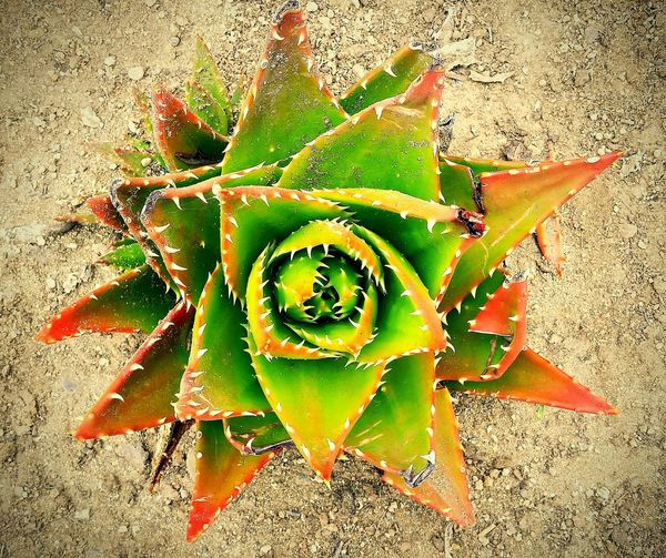 Spiked flower ? Zapallar Macro Spiked Flower Samsunggalaxycamera Spring2014 Beach Amateurphotography Amateurphotographer  Flower Porn
