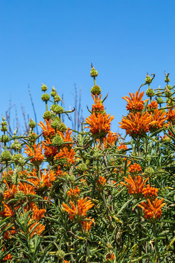 Leonotis Nepetifolia, also known as Lion's Ear flowers growing in San Francisco Christmas Candlestick Leonotis Nepetifolia Beauty In Nature Blue Clear Sky Day Flower Flower Head Flowering Plant Fragility Freshness Green Color Growth Inflorescence Lion's Ear Lion's Tail Nature No People Orange Orange Color Outdoors Petal Plant Sky Vulnerability