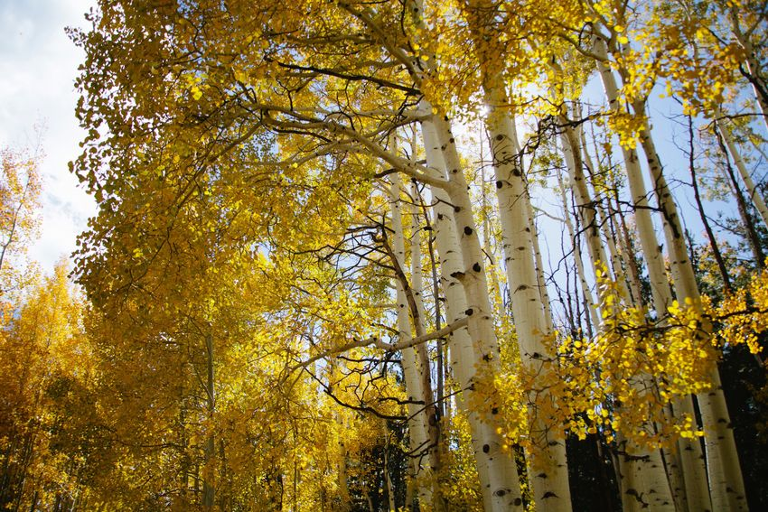 Golden aspens in autumn as their leaves change colors Tree Autumn Yellow Leaf Nature Beauty In Nature Outdoors Growth Change Day Sunlight Low Angle View No People Branch Scenics Freshness Forest Sky Close-up