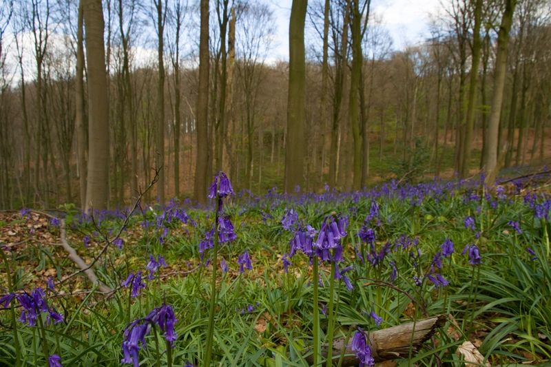 Purple Nature Growth Forest Tree Beauty In Nature Tranquility No People WoodLand Outdoors Flower Plant Tranquil Scene Scenics Day Landscape Grass Bluebell Bluebells Freshness Sky