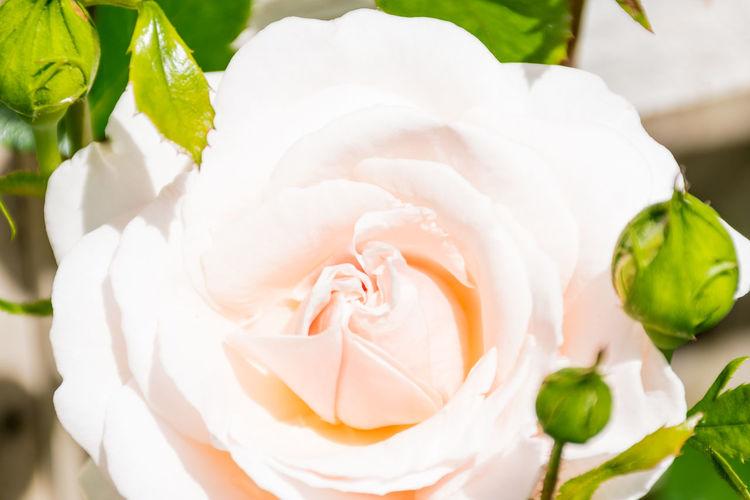 A beautiful soft peach coloured rose from my garden Blossom Flower Peach Rose Rosebuds Single Rose Summer Flowers