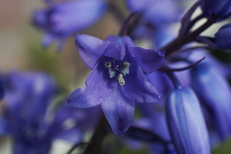 Almost half the world's bluebells are found in the UK and they're relatively rare in the rest of the world. Macro Photography Macro Bluebells Flower Head Flower Petal Purple Pollination Springtime Close-up Plant Flowering Plant In Bloom Stamen Plant Life Botany Blossom Pollen
