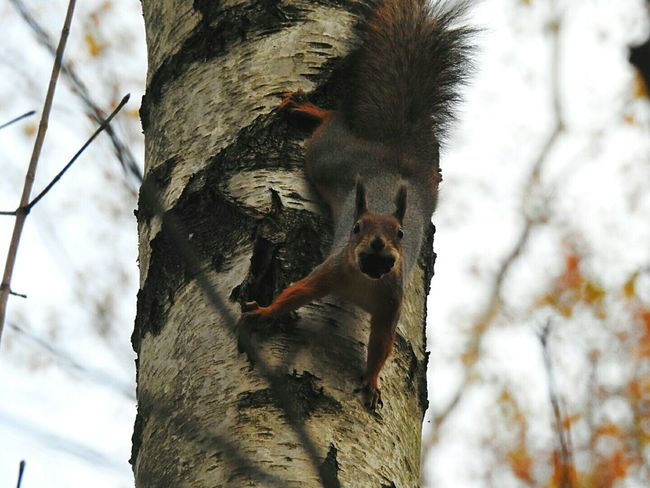 Squirrel Animals In The Wild Focus On Foreground Nature Day Zoology No People Beauty In Nature Colors Of Sankt-Peterburg TakeoverContrast Autumn🍁🍁🍁 Park Sankt-Petersburg Russia