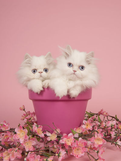 Two white persian longhair kittens with blue eyes in a pink flowerpot on a pink background Kittens Angora Cat Animal Animal Themes Cat Colored Background Cute Kittens Feline Flowerpot Indoors  Longhair Kittens Looking At Camera Persian Cat  Persian Kitten Pets Pink Color Purebred Cat Studio Shot