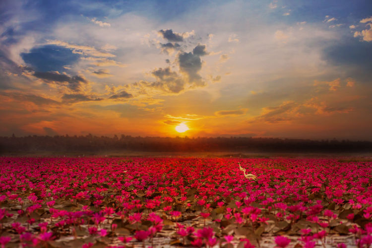 Scenic view of pink flowers on field against sky during sunset
