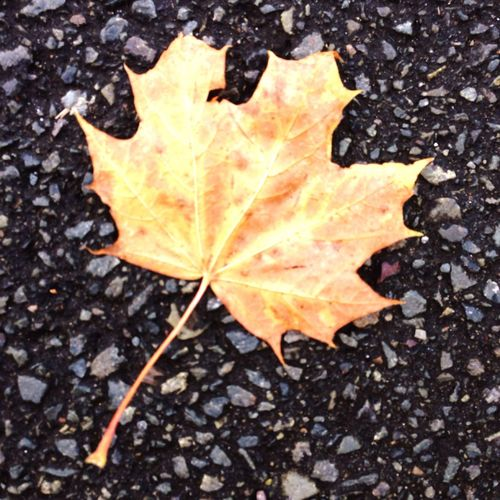High angle view of maple leaf on wet autumn leaves