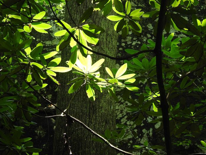 Tree Branches Leaves Light And Shadows Illuminations Beauty In Nature Forest Hiking Photography