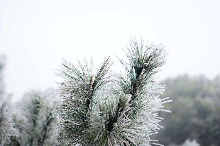 Close-up of pine tree against sky during winter