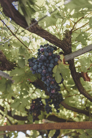 Grapes Agriculture Berry Fruit Close-up Day Focus On Foreground Food Food And Drink Freshness Fruit Green Color Growth Healthy Eating Leaf Nature Outdoors Plant Plant Part Plantation Ripe Tree Vineyard Wellbeing Winemaking