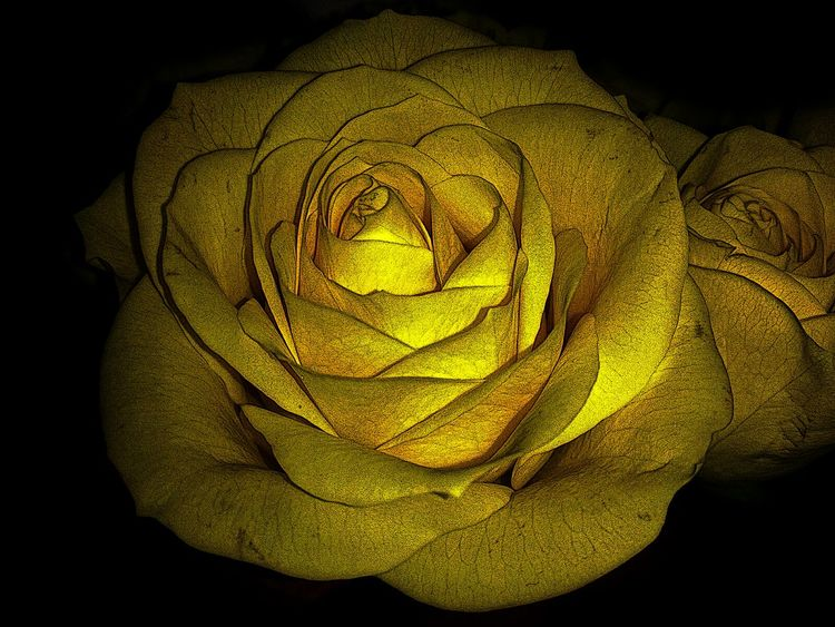 Yellow Black Background Backgrounds Close-up Concentric Abstract No People Nature Beauty In Nature Flower Head Mobile Photography BrianArlt Mobilephotography Home Is Where The Art Is Flower Rose🌹 Drawing Full Frame