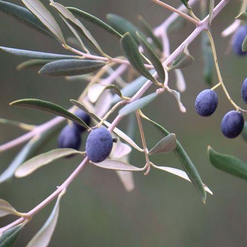 Немного еды) Природа фотография оливки фотонастроение минимализм Nature Photo Photomood Olive Minimalism