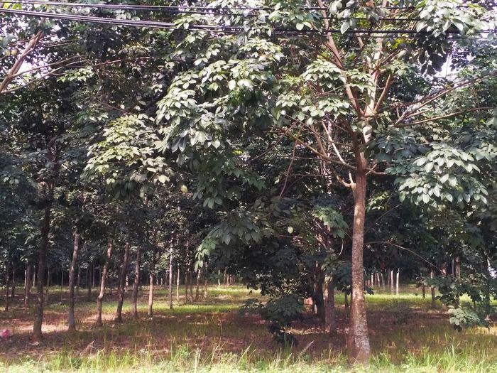 rubber tree Tree Plant Growth Land Nature Day Beauty In Nature No People Tranquility Outdoors Tranquil Scene Sunlight Field Forest Green Color Environment Park Scenics - Nature Landscape Grass
