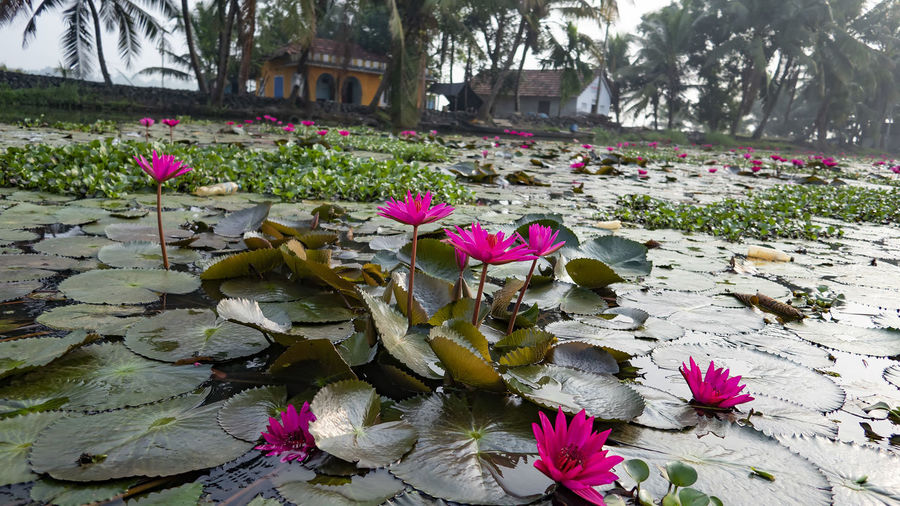 Floating Lily's on the Kerala Backwaters Flower Flowering Plant Plant Beauty In Nature Vulnerability  Nature Freshness Growth Fragility Day Leaf No People Water Lily Tree Outdoors Lotus Water Lily Floating On Water