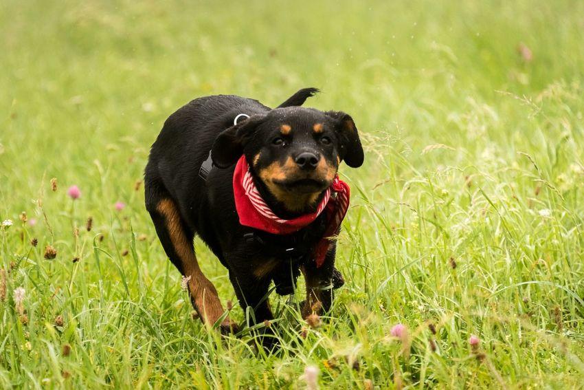 Puppy Rottweiler Dogs Eyeem Best Shots - Animals Eye4photography  EyeEm Gallery EyeEm Animal Lover