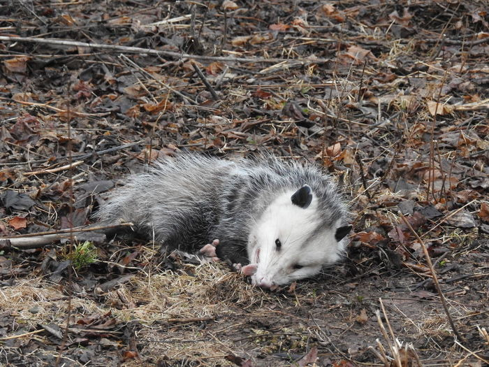 watch this possum wake up from playing dead here https://youtu.be/sNFeEVD3YvgAnimal Close Up Animal Themes Animals In The Wild Animals In The Wild Cat Connected With Nature Connecticut Day Mammal Marsupial No People Opossum Outdoors Playing Dead Possum Possums Wildlife Wildlife & Nature Wildlife In The City Wildlife In The Neighborhood Wildlife Photography Wildlifephotography