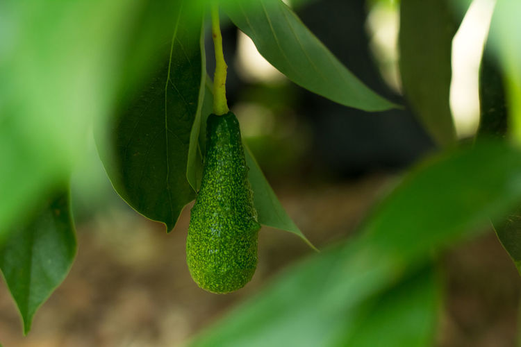 Avacado Tree Avocado Avocado Balls Avocados On Tree Beauty In Nature Bokeh Bunch Fruit Green Color Leaf Nature Plant Ripe Ripe Avocado Ripe Avocados Ripe Fruit
