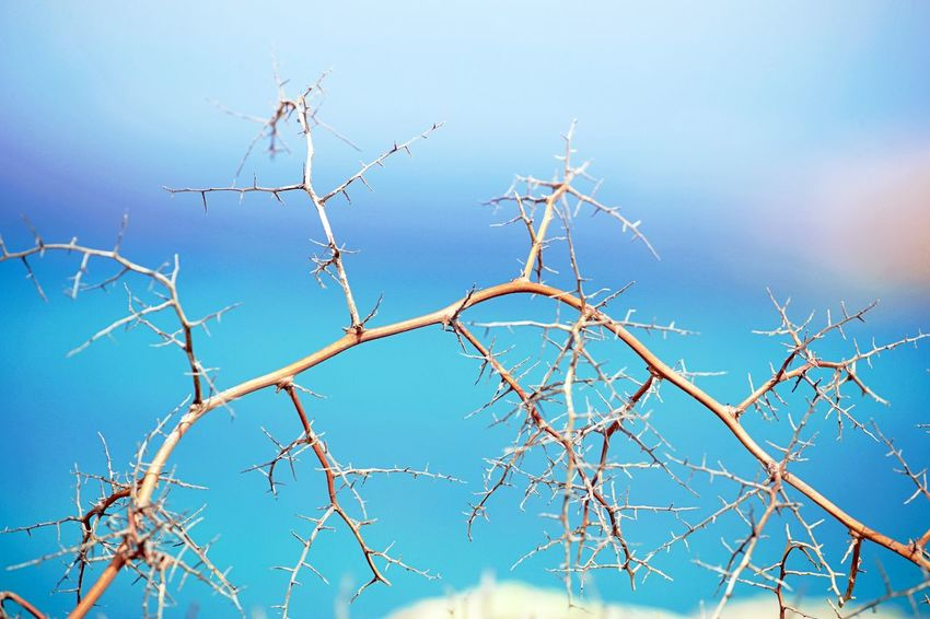 Background Bare Tree Beauty In Nature Blue Branch Clear Sky Day Dried Plant Dry Focus On Foreground Full Frame Low Angle View Nature No People Outdoors Plant Sky Sunlight Tranquility Tree
