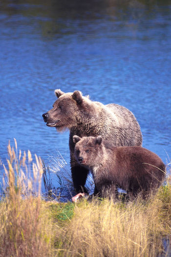 Coastal brown bears in Alaska's Katmai National Park Alaska Animal Themes Bear Beauty In Nature Blue Danger Day Fall Grass Grassy Katmai National Park Lakeshore Mammal Nature No People Non-urban Scene Outdoors Relaxation Resting Rock - Object Sky Reflection Tranquil Scene Tranquility Two Animals Water