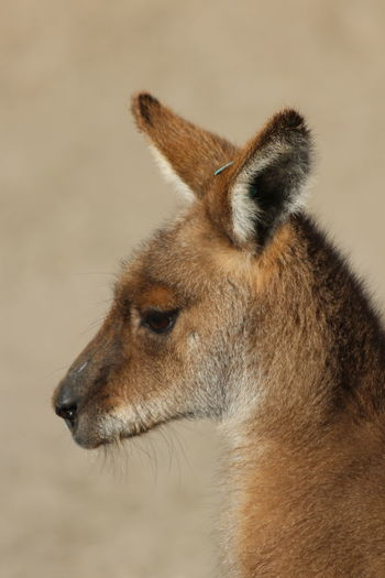 Close-up of an animal looking away