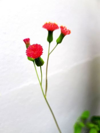 Flower Fragility Plant Freshness Outdoors Flower Head Red Nature White Background No People Tranquility Growth