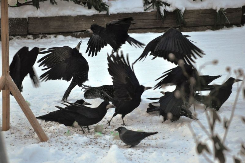 High Angle View Of Crows On Snow
