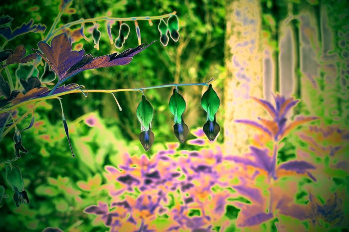 the magical negative garden Beauty In Nature Bleeding Heart  Bleeding Heart Flowers Close-up Day Flower Flower Head Fragility Growth Leaf Nature Negative No People Outdoors Plant