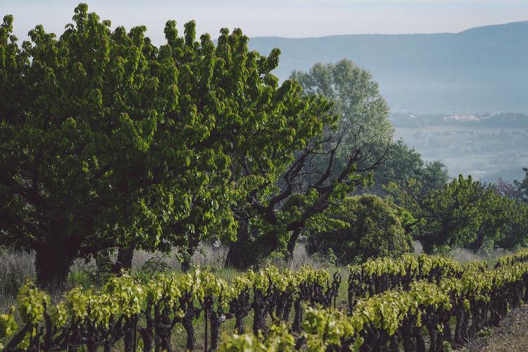 Vineyard by trees on field