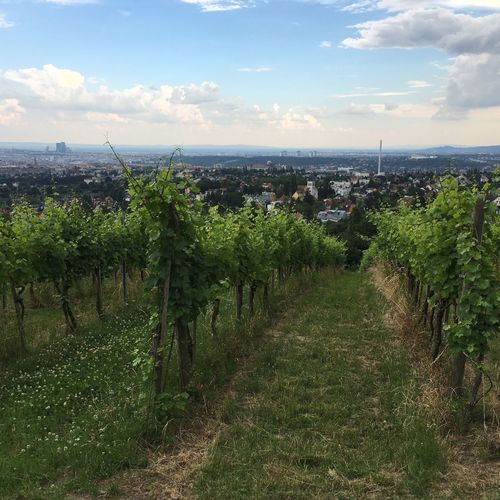 Viennese Wine Viennese Vineyards Vineyard