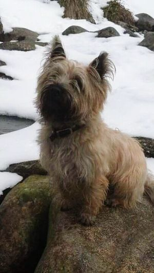 Cairn Dog Cairngorms Snow Nature_collection Scottish Highlands Perched Proud Hamish Animal_collection
