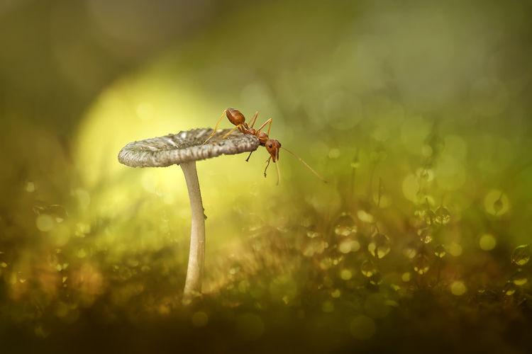 Close-Up Of Fire Ant On Wild Mushroom