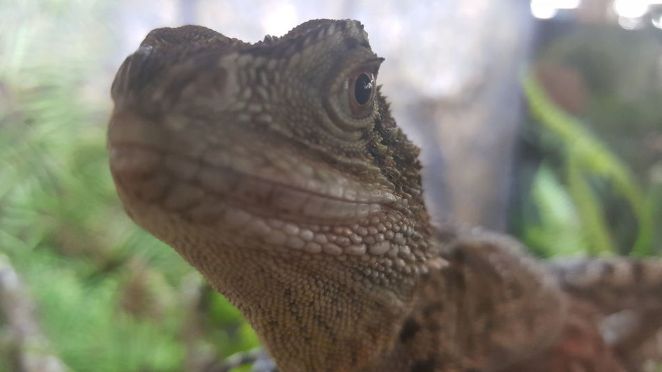 Animal Scale Animal Themes Animal Wildlife Close-up Iguana Lizard One Animal Reptile