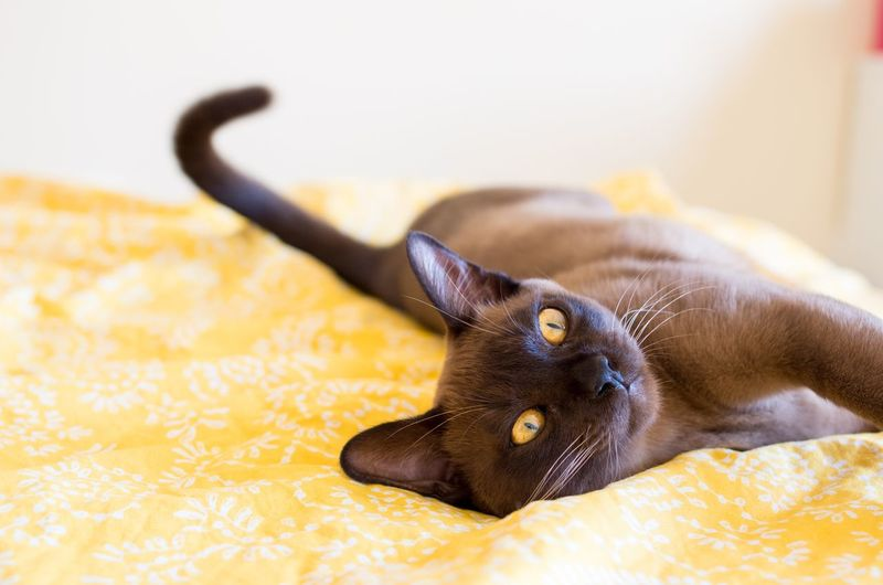 Cat lying on yellow bed at home