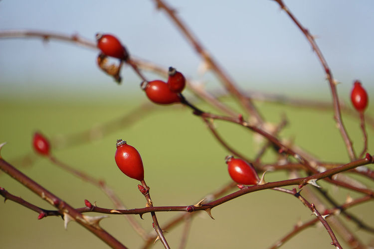 Close-up of berries on branch