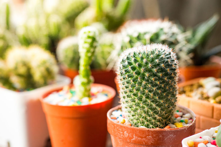 Many cactus pots are set on wooden boards. Cactus Succulent Plant Potted Plant Focus On Foreground Thorn Growth No People Plant Sharp Spiked Close-up Green Color Beauty In Nature Nature Barrel Cactus Day Outdoors Freshness Pot Field