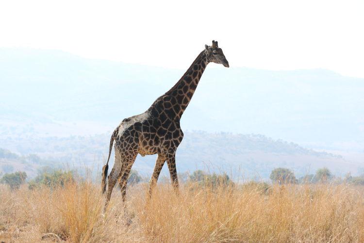 Side view of giraffe standing on landscape against sky