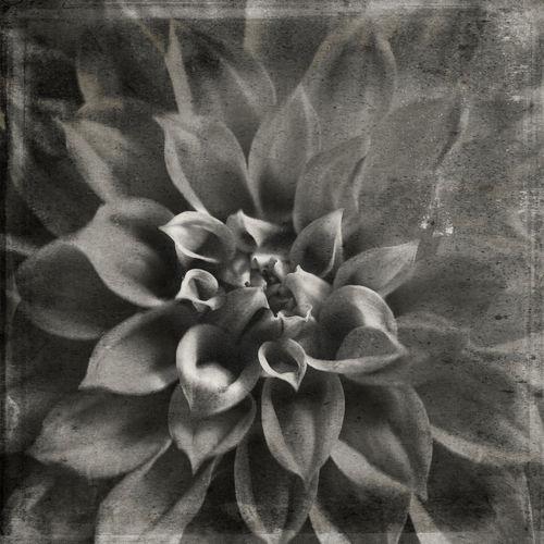 Botanical Daria Flower Flower Head Flowers Monochrome No People Old Film Look Sepia