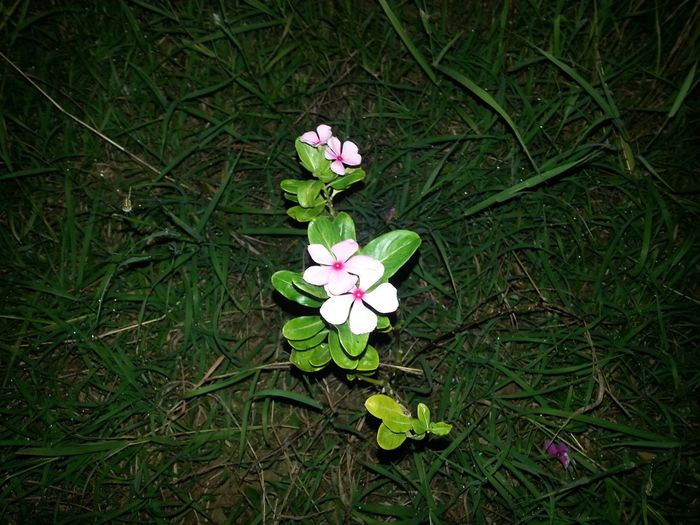 The only flower in the middle of the meadows.. Lonely Peace PhonePhotography Phoneographer