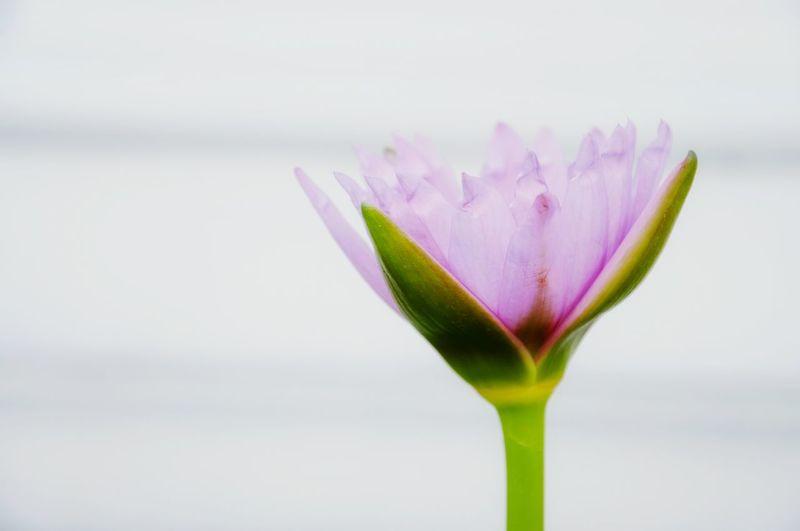 thai lotus Lotus Plant Lotus Thai Lotus Flower Lotus Flower Water Lotus Blossom Nature Beauty In Nature Flower Petal