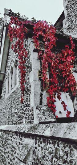 splash of colour Photowalktheworld Colour Pop Red Tree Red Flower Close-up Sky Ivy Creeper Vine Overgrown Tendril Creeper Plant Maple Leaf Petal Growing Plant Life