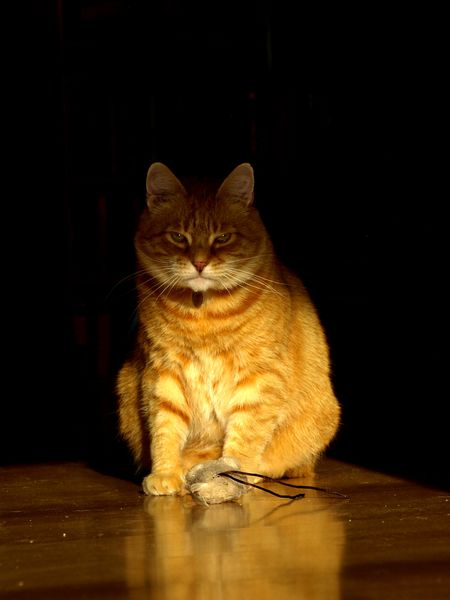 Unimpressed cat Animal Themes Black Background Cat Domestic Animals Domestic Cat Feline Ginger Cat Indoors  Mammal No People One Animal Pets Shadow Sitting Toy Mouse
