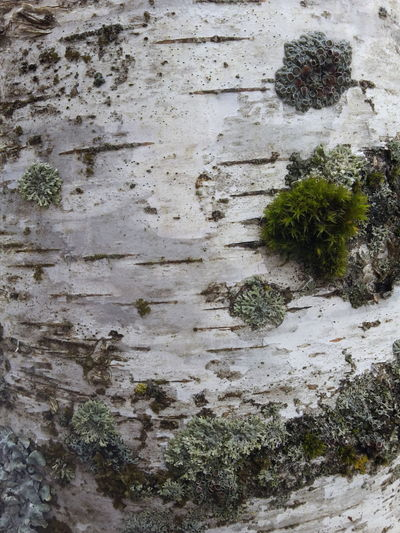 Березовый ствол Forest No People, Indoors White Background Nature Bare Trees Trees Birch Tree No People Nature_collection Moss & Lichen Moss Tree Trunk