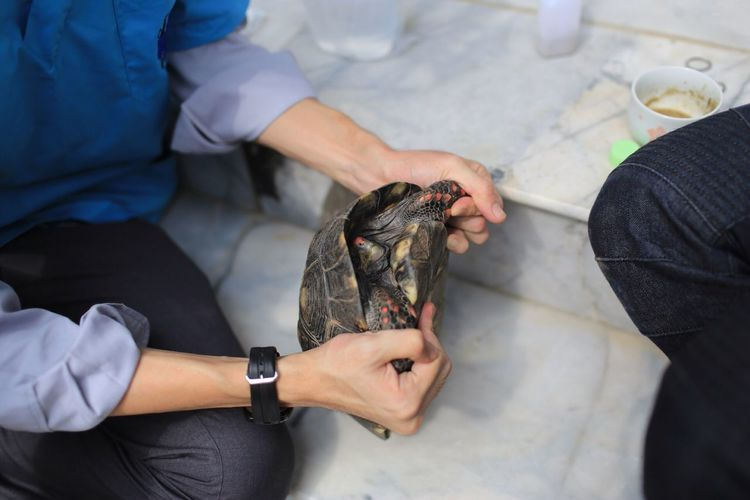Veterinary give drug to tortoise Redfooted Tortoise Exotic Pets Tortoise Veterinarian Veterinary EyeEm Selects One Animal Real People Vertebrate Holding One Person Human Hand Domestic Indoors  Adult Hand Human Body Part Mammal Pets Midsection Animal Hospital Domestic Animals Reptile High Angle View Pet Owner Care